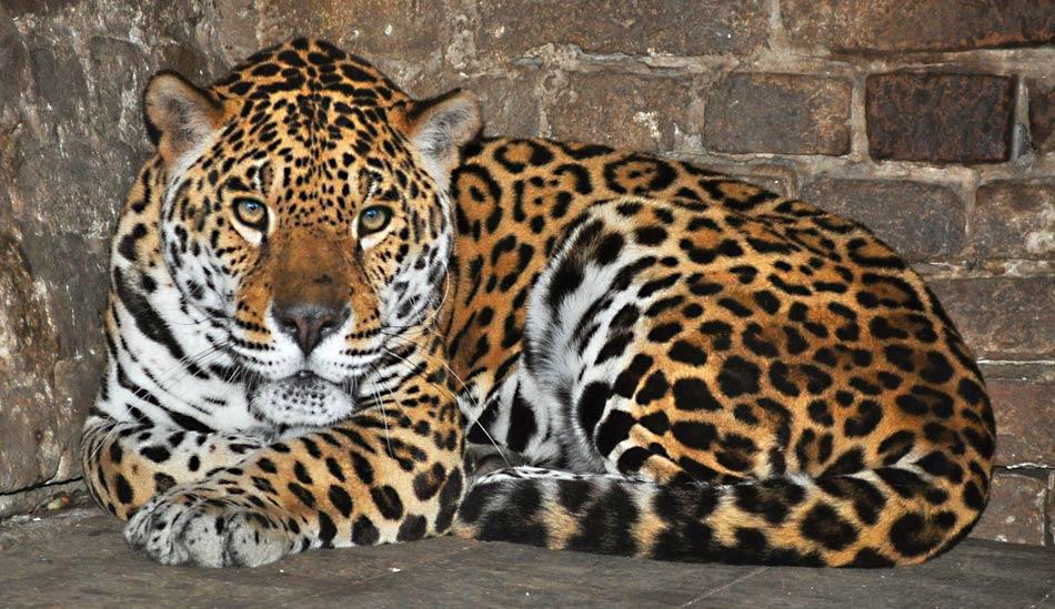 jaguar-zoran-rajic