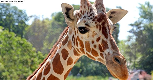 Мрежаста Жирафа