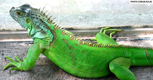 zelena-iguana