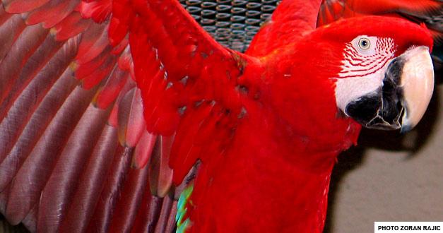 zelenokrila-ara
