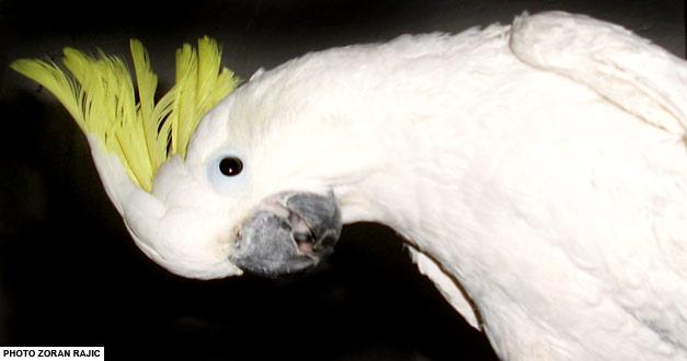 Жутоћуби Какаду
