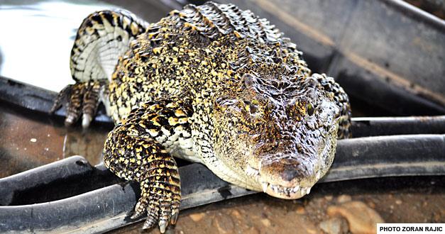 Кубански Крокодил