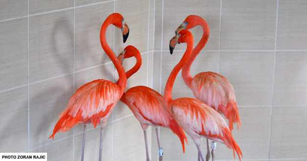 Američki Flamingo