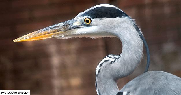 siva-caplja-beo-zoo-vrt