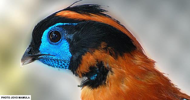 tragopan-beo-zoo-vrt