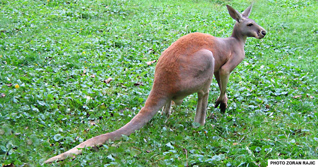 crveni-kengur-beo-zoo-vrt