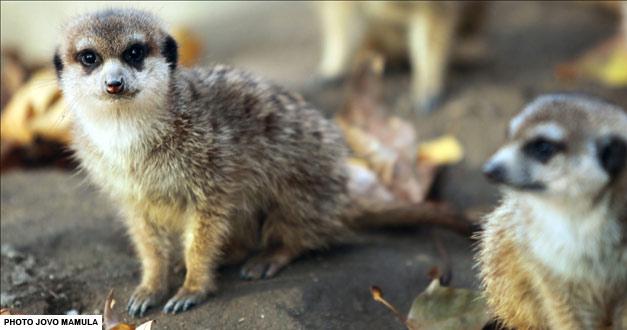 merkat-beogradski-zoo-vrt