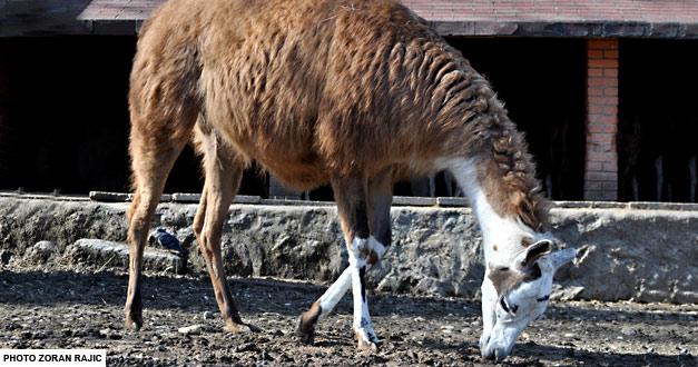 lama-beo-zoo-vrt