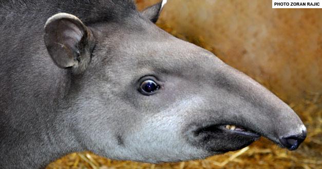 tapir-beo-zoo