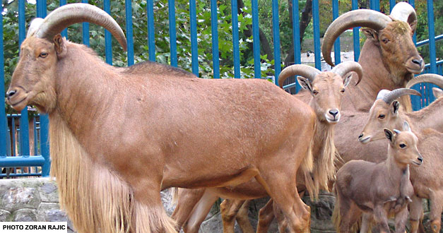 Берберска Овца