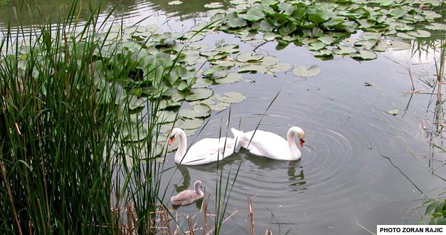 jezerce-labudovi-beo-zoo-vrt