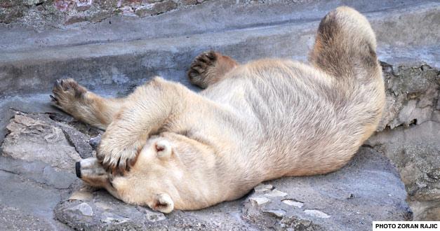 beli-medved-beogradski-zooloski-vrt