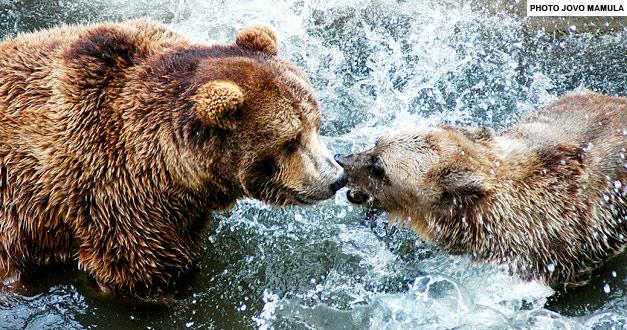 Мрки Медвед