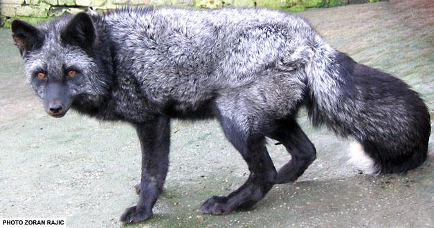 srebrna-lisica