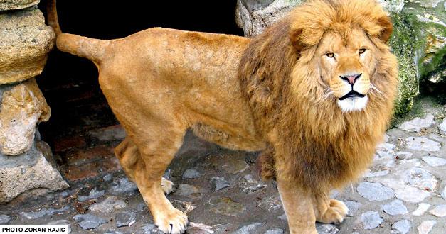 africki-lav