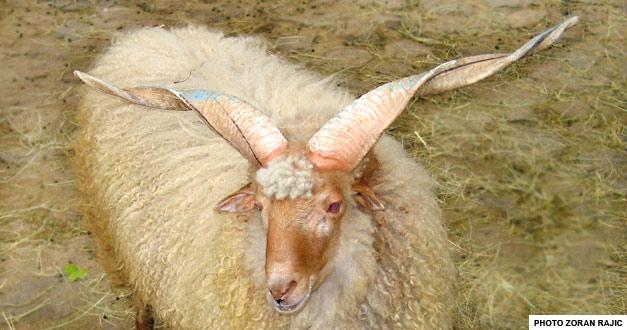 racka-ovca