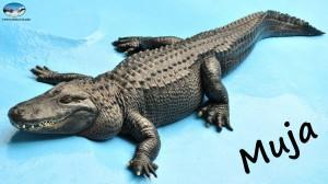 Misisipi_aligator_04-Zoran-Rajic