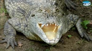 Nilski_krokodil_02