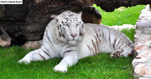 bengalski-beli-tigar-beo-zoo