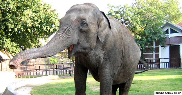 Azijski slon beogradski zoo vrt