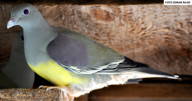 Papagajski-golub-beo-zoo-vrt 2