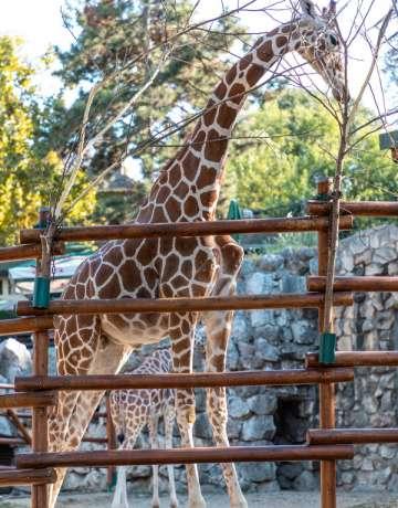 porodicni paket - zirafa - beo zoo vrt