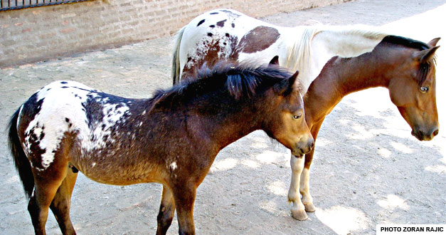 konji u beo zoo vrtu