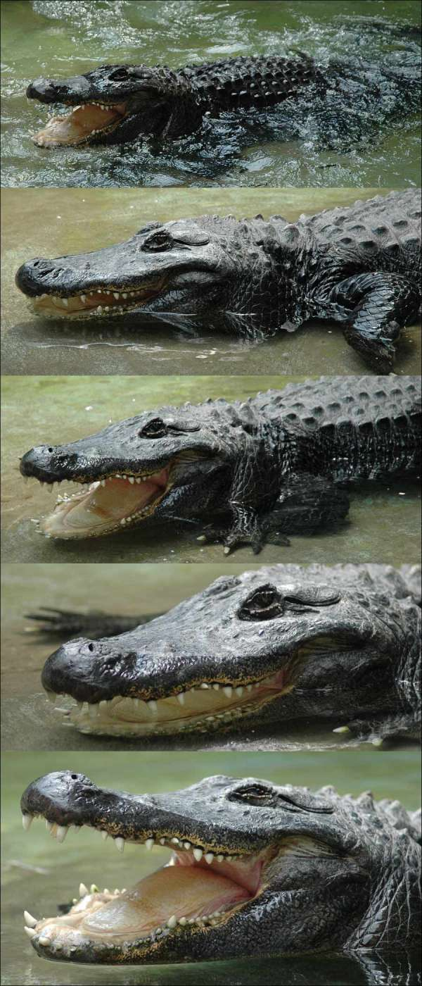 beo_zoo_vrt_aligator_muja_2