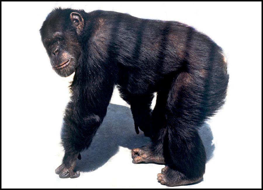 beo_zoo_vrt_simpanza_sami