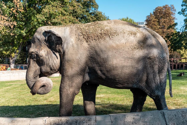 Azijski Slon